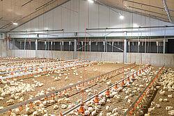 Interior de nave de pollos de engorde con animales
