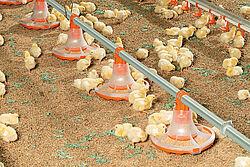 Pollitos comiendo en el nuevo plato para engorde de pollos