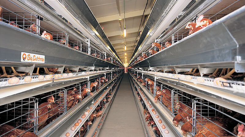 Manejo de gallinas ponedoras en jaulas UNIVENT