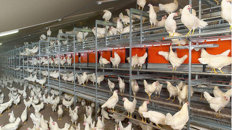 Sistemas de manejo alternativos: Manejo de gallinas ponedoras en el sistema aviario NATURA-Step
