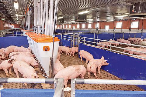 Engorde de cerdos