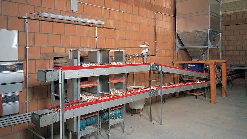 Recolección de huevos en la nave avícola