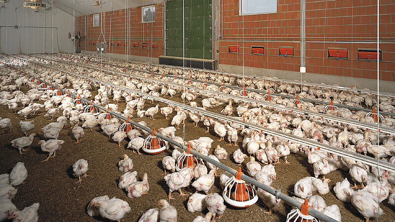 Engorde de aves / nave de pollos