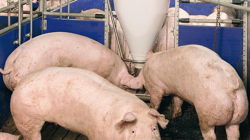 Sistema de alojamiento/sistema de alimentación para la granja de engorde de cerdos