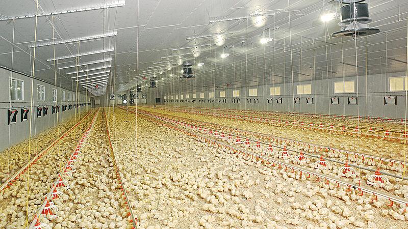 Engorde de pollos