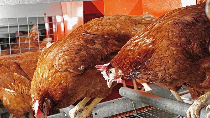 Equipamiento avícola moderno de Big Dutchman: Colony-EU