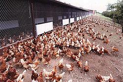 Multitud de gallinas ponedoras a la derecha de la nave