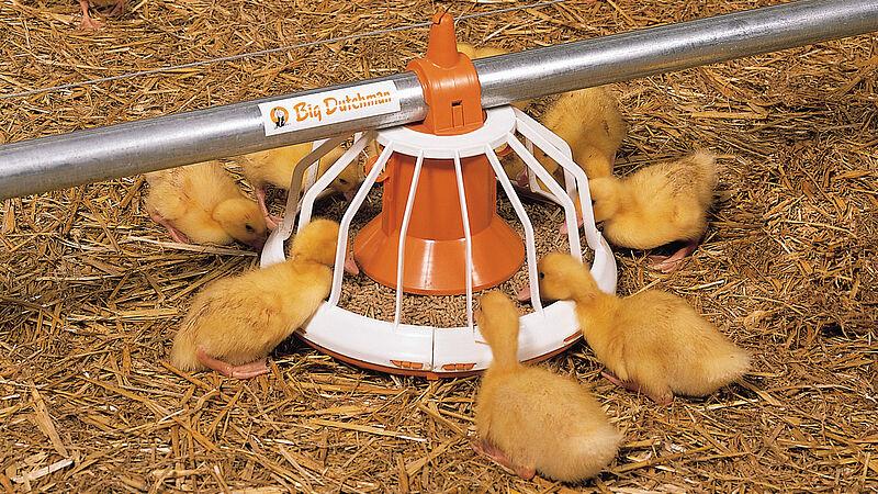 Engorde de aves: Comedero Big Pan Plus para el manejo de patos