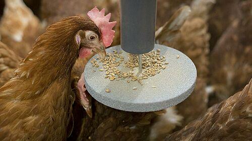 La gallina picotea pienso en el péndulo.
