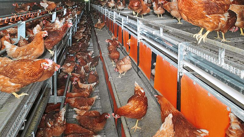 Manejo en aviarios con NATURA Nova Twin - para la avicultura alternativa