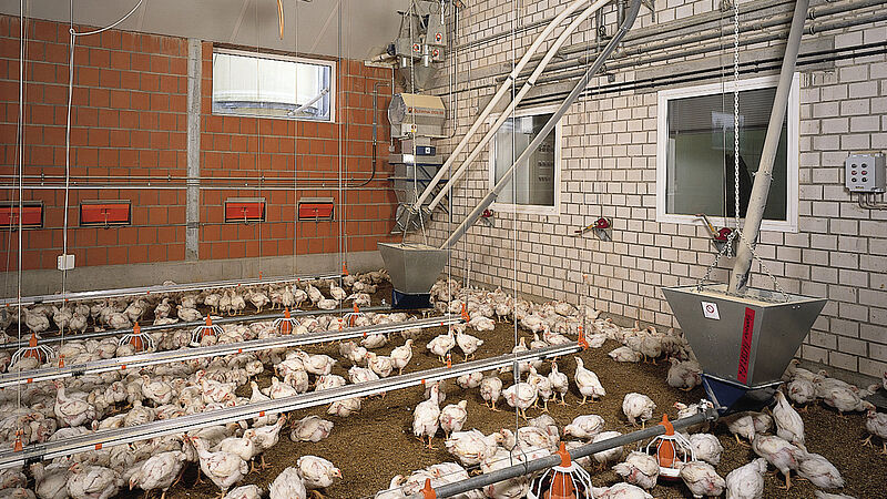 Engorde de pollos con sistema de alimentación Augermatic