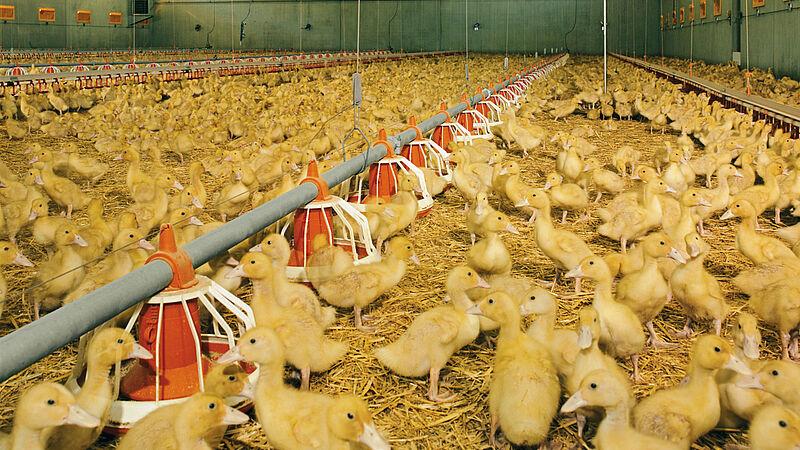 Engorde de pollos / engorde de patos