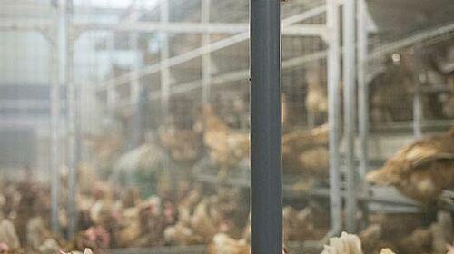 Nave para el manejo de gallinas ponedoras con péndulo
