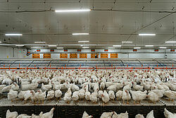 Nave para el manejo de reproductoras con nidal de postura comunitario y aves