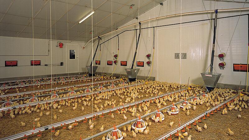 Nave avícola para el engorde de pollos
