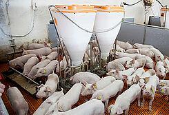 Porco Bello: Instalaciones porcinas y sistemas de alimentación para el engorde de cerdos