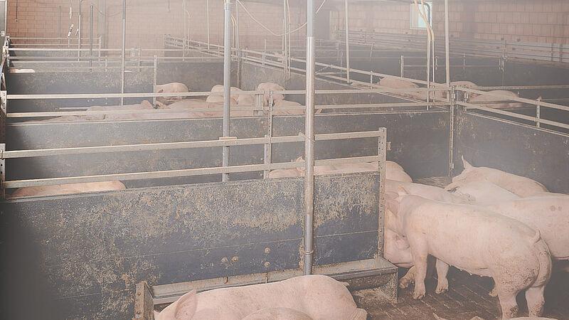 Climatización de naves CombiCool para granjas de engorde de cerdos