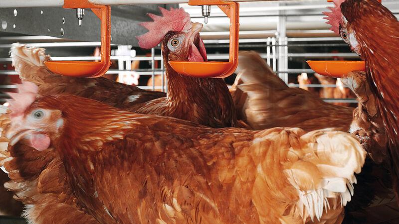 Equipamiento avícola moderno: Jaulas enriquecidas del tipo Colony-EU