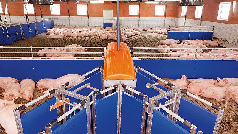 Báscula clasificadora TriSort para el engorde de cerdos
