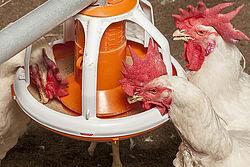 Los gallos comen del plato comedero.