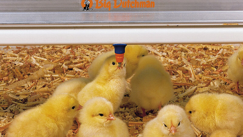 Engorde de aves: pollitos en el bebedero de tetinas de Big Dutchman, SaniStar