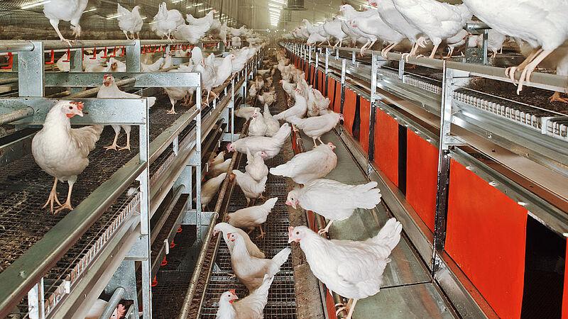 Avicultura alternativa en el sistema aviario NATURA-Nova Twin
