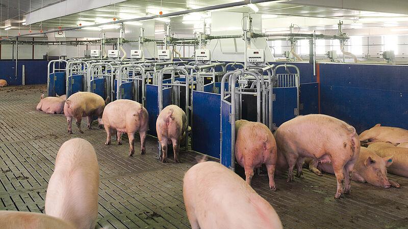 Instalaciones porcinas para el manejo en grupos de cerdas: El clásico de Big Dutchman, el Callmatic 2