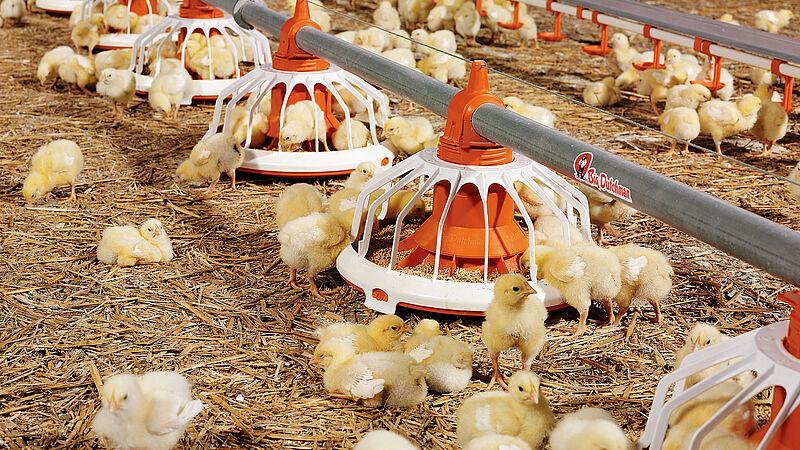 Plato comedero FLUXX para el engorde de pollos