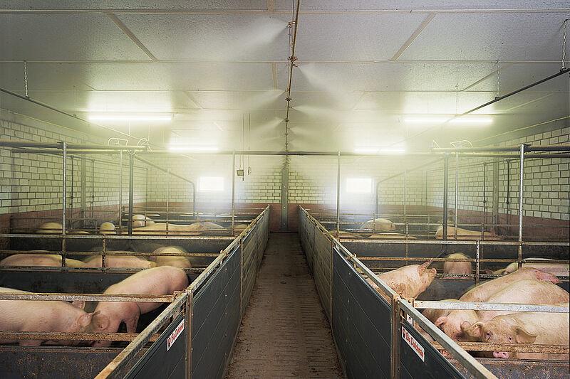 Manejo de cerdos: Sistema de nebulización de alta presión CombiCool