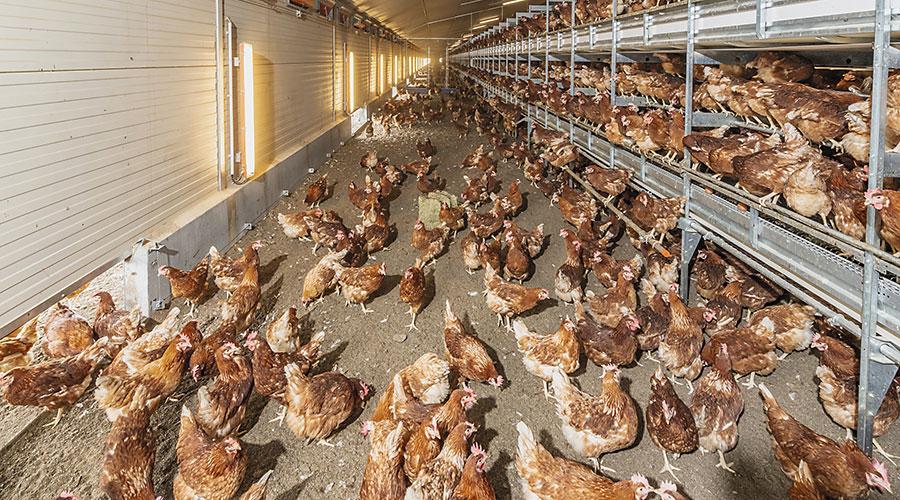 Interior de la nave con gallinas y aviarios